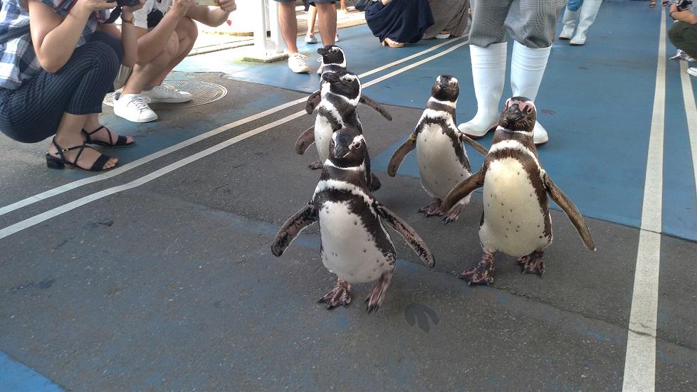 歩くペンギンたち