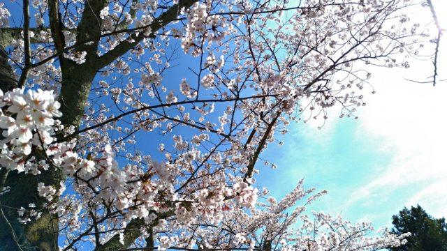 能登の旅行中にお花見するなら七尾市の小丸山公園がおすすめです